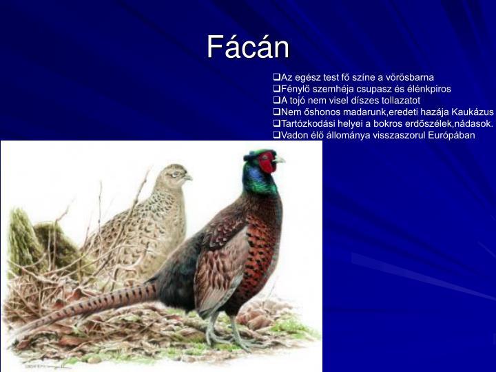 Fácán