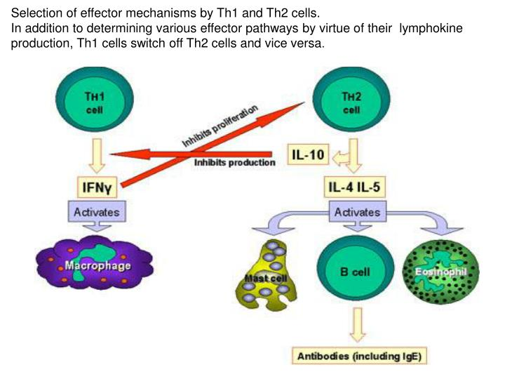 Selection of effector mechanisms by Th1 and Th2 cells.