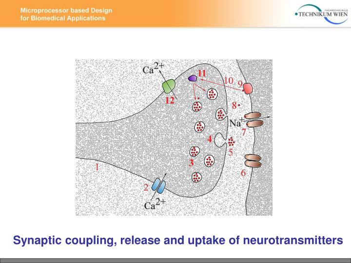 Synaptic coupling, release and uptake of neurotransmitters