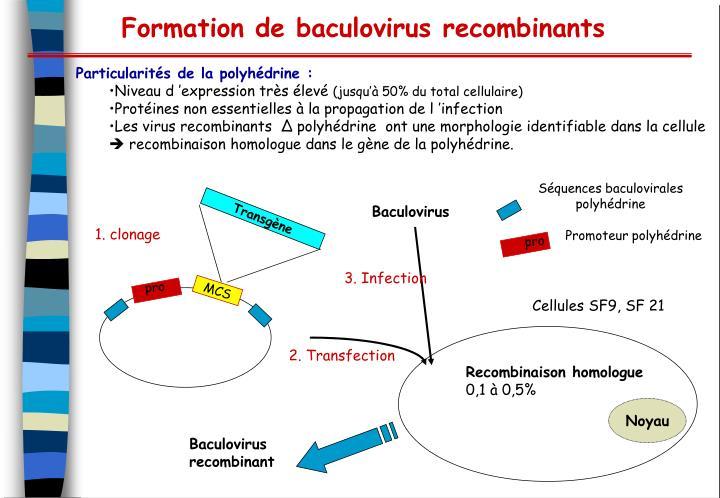 Séquences baculovirales