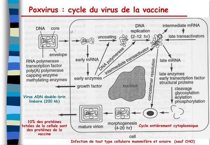 Poxvirus : cycle du virus de la vaccine