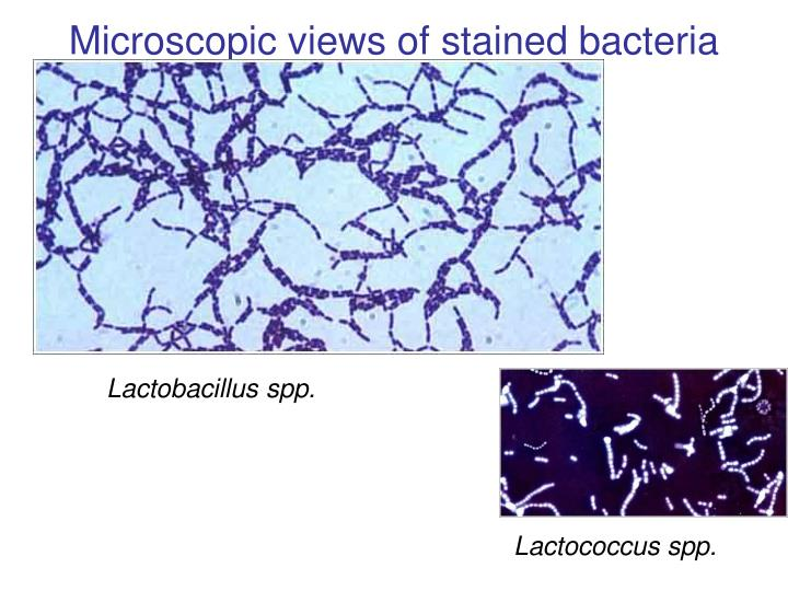 Microscopic views of stained bacteria
