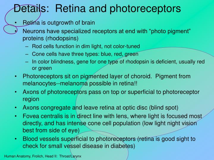Details:  Retina and photoreceptors