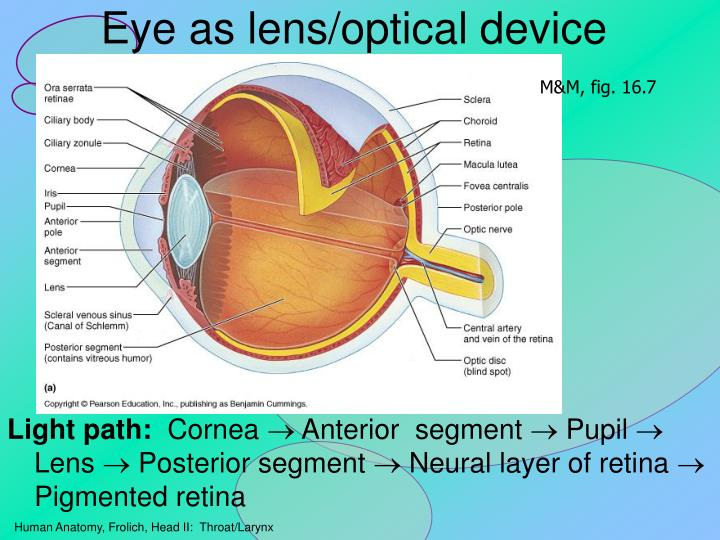 Eye as lens/optical device