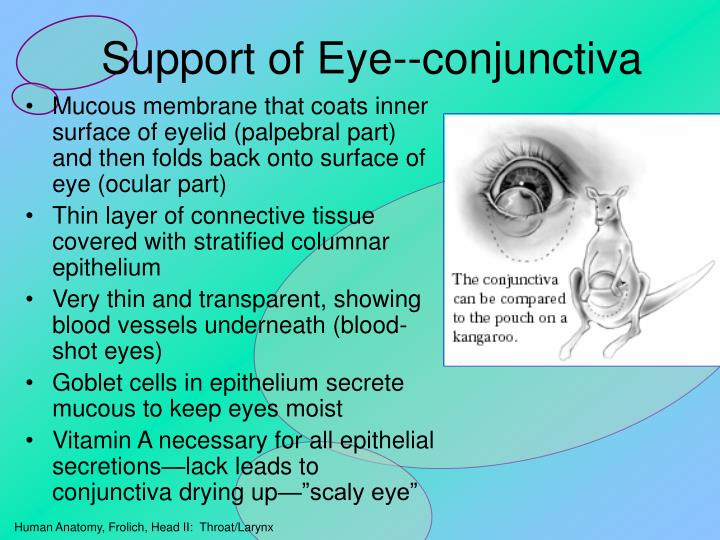 Support of Eye--conjunctiva