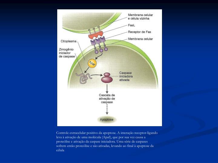 Controle extracelular positivo da apoptose. A interação receptor-ligando leva à ativação de uma molécula (Apaf), que por sua vez causa a proteólise e ativação da caspase iniciadora. Uma série de caspases sofrem então proteólise e são ativadas, levando ao final à apoptose da célula