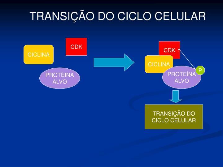 TRANSIÇÃO DO CICLO CELULAR