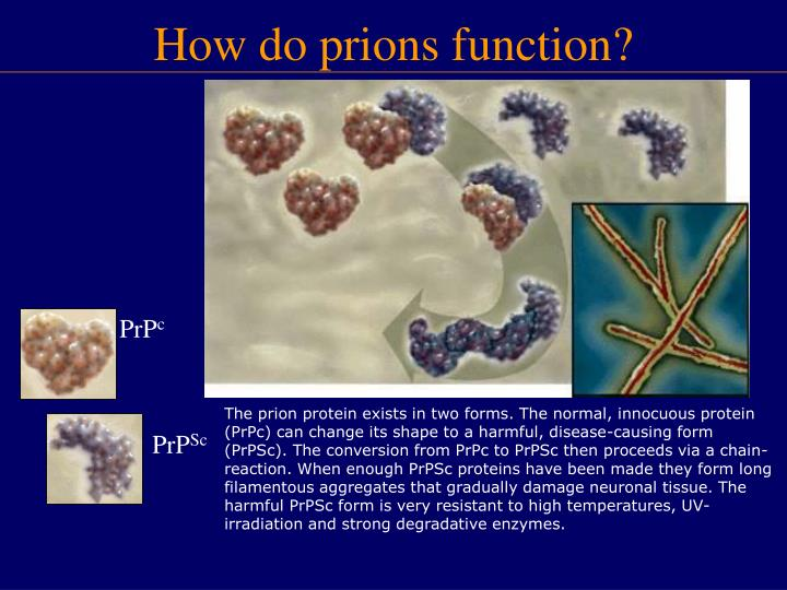 The prion protein exists in two forms. The normal, innocuous protein (PrPc) can change its shape to a harmful, disease-causing form (PrPSc). The conversion from PrPc to PrPSc then proceeds via a chain-reaction. When enough PrPSc proteins have been made they form long filamentous aggregates that gradually damage neuronal tissue. The harmful PrPSc form is very resistant to high temperatures, UV-irradiation and strong degradative enzymes.