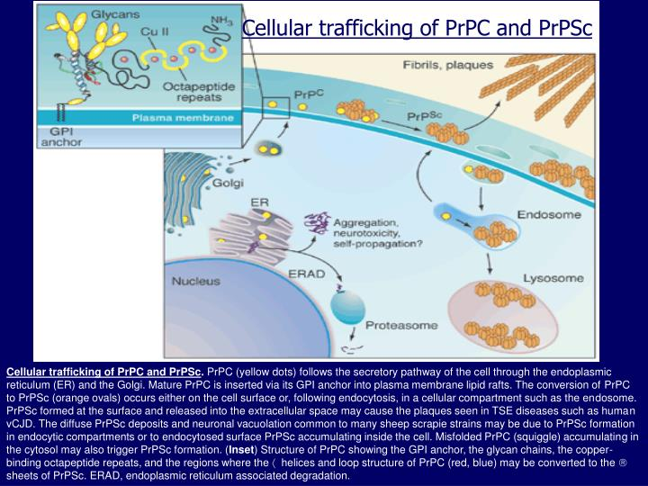 Cellular trafficking of PrPC and PrPSc