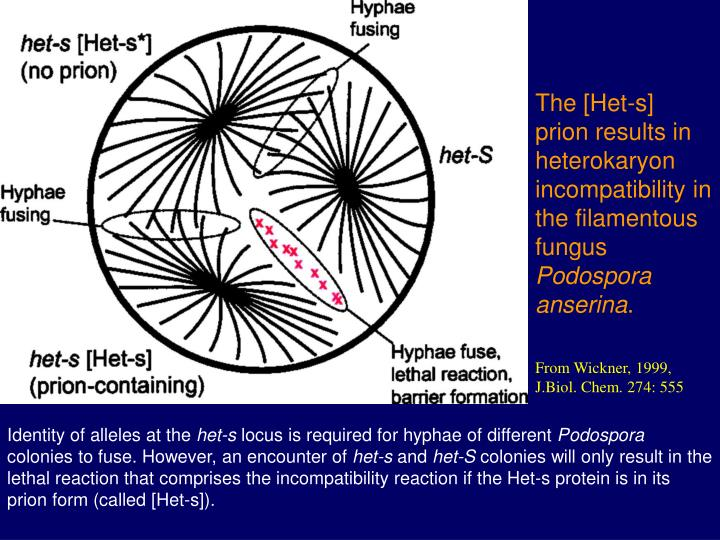 The [Het-s] prion results in heterokaryon incompatibility in the filamentous fungus