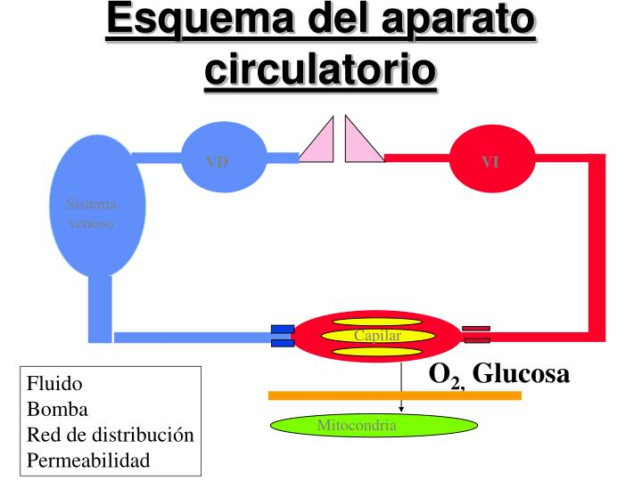 Esquema del aparato circulatorio