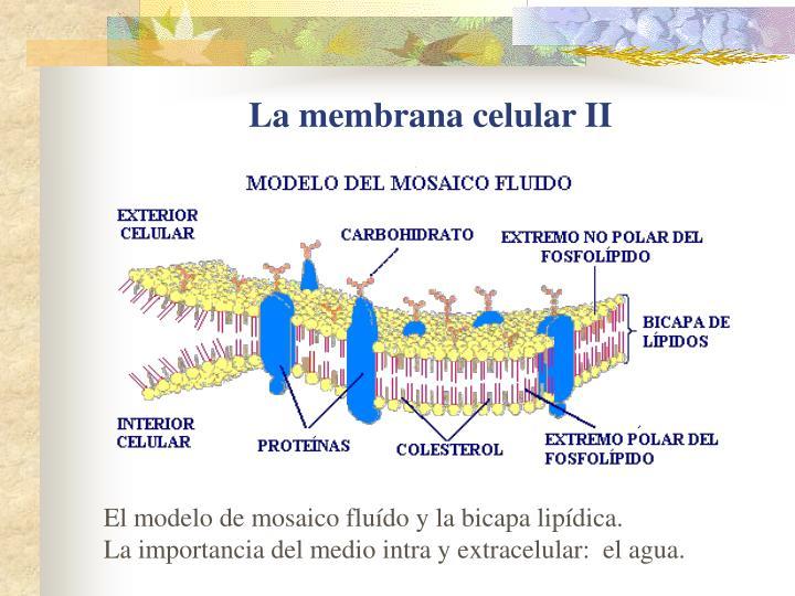 La membrana celular II