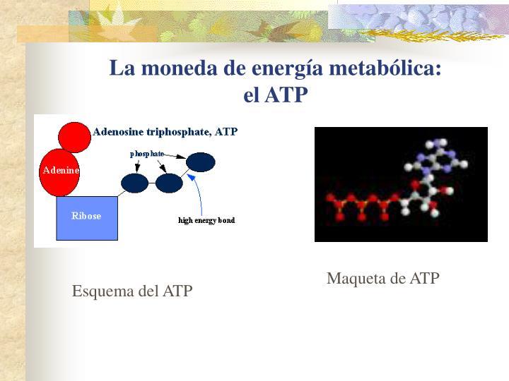 La moneda de energía metabólica: