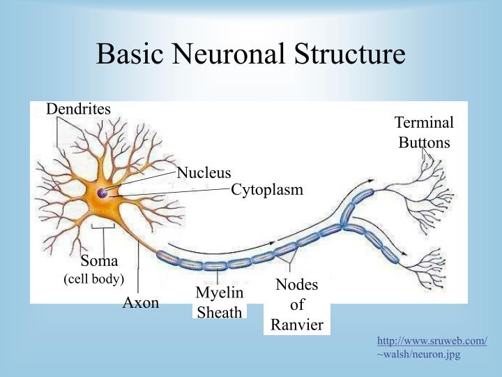 Basic neuronal structure