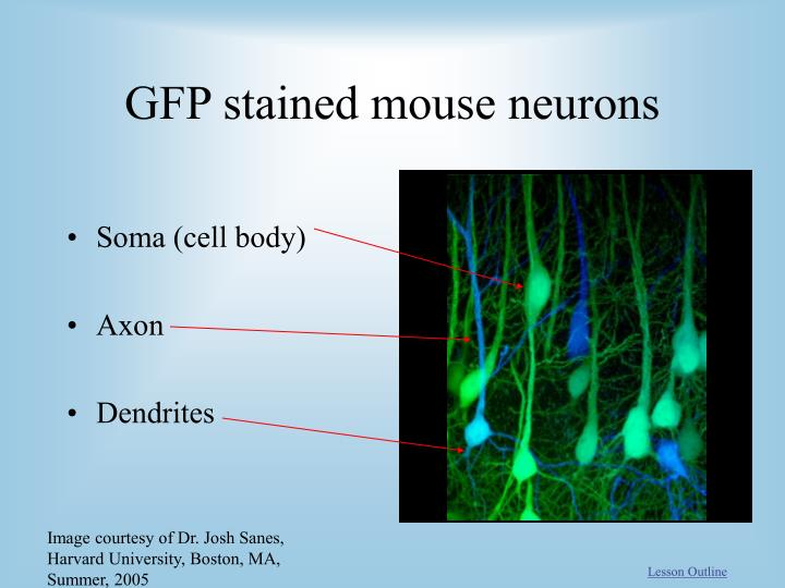 GFP stained mouse neurons
