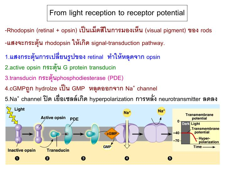 From light reception to receptor potential