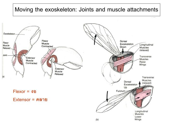 Moving the exoskeleton: Joints and muscle attachments