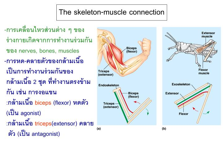 The skeleton-muscle connection