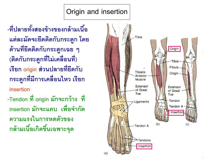 Origin and insertion