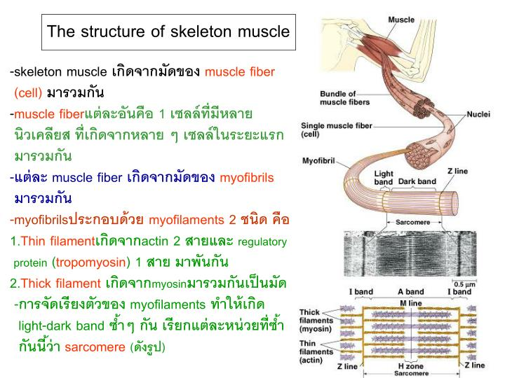 The structure of skeleton muscle