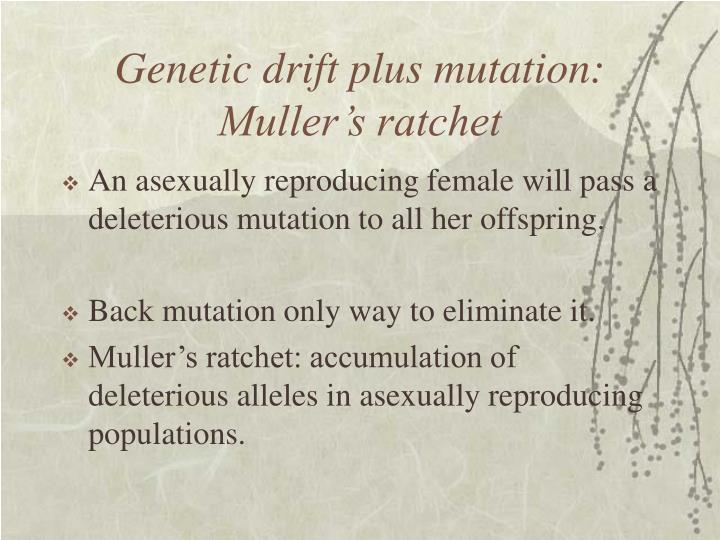 Genetic drift plus mutation: Muller's ratchet