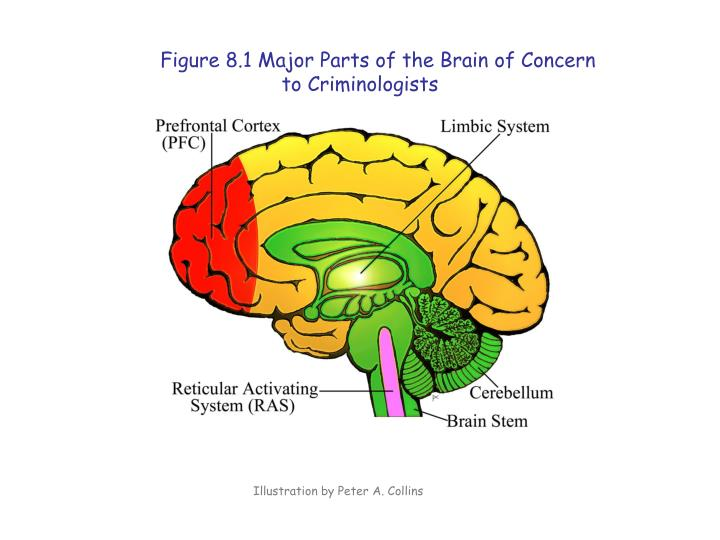 Figure 8.1 Major Parts of the Brain of Concern to Criminologists