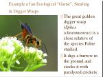 example of an ecological game stealing in digger wasps