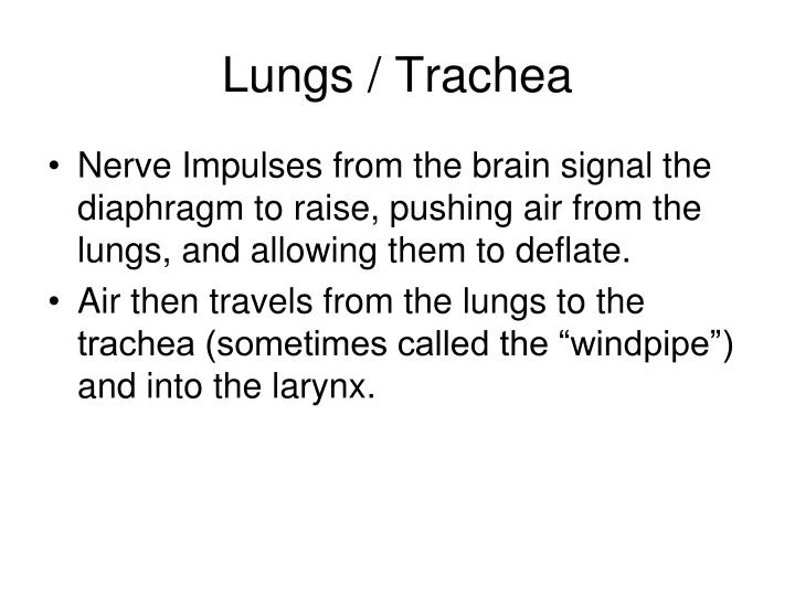 Lungs / Trachea