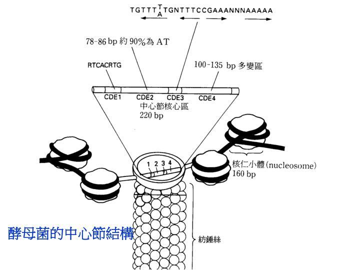 酵母菌的中心節結構