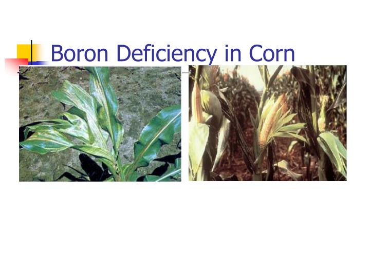 Boron Deficiency in Corn