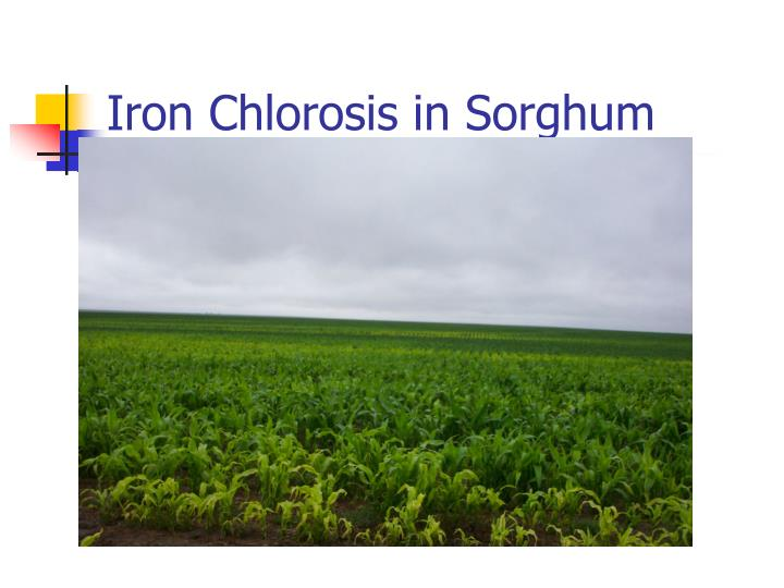 Iron Chlorosis in Sorghum