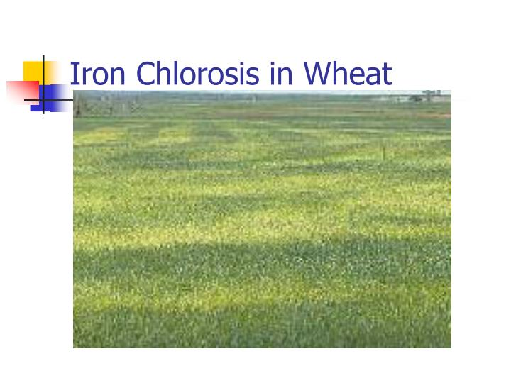 Iron Chlorosis in Wheat