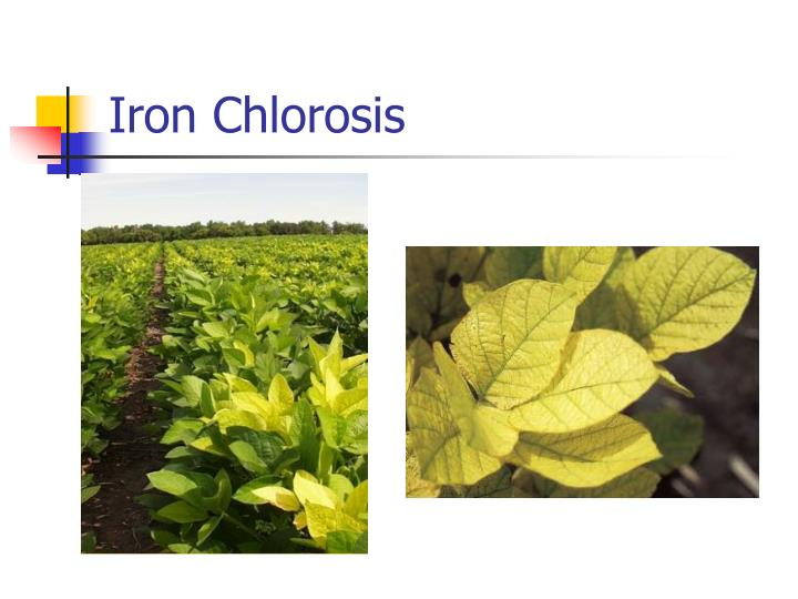 Iron Chlorosis