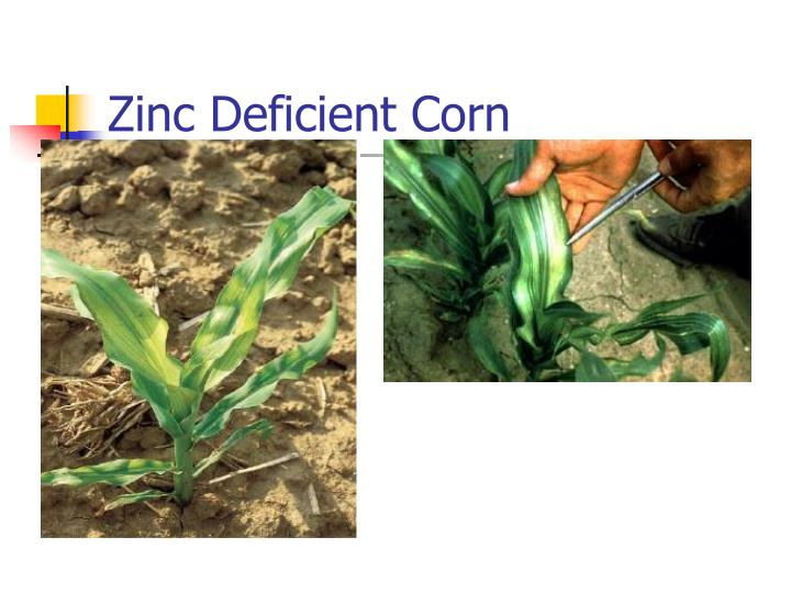 Zinc Deficient Corn