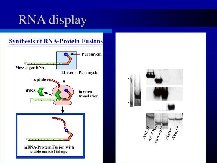 RNA display