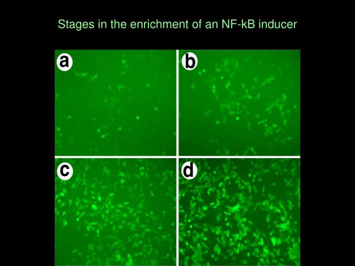 Stages in the enrichment of an NF-kB inducer