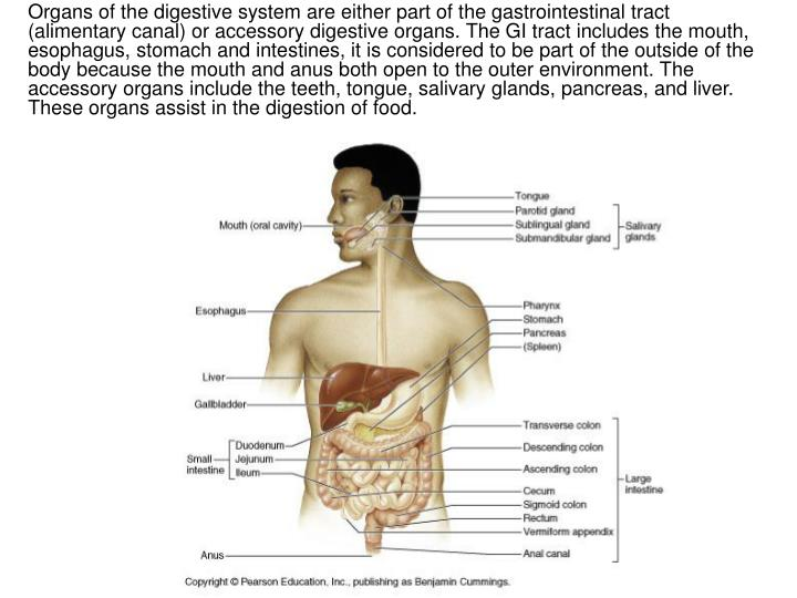 Organs of the digestive system are either part of the gastrointestinal tract (alimentary canal) or accessory digestive organs. The GI tract includes the mouth, esophagus, stomach and intestines, it is considered to be part of the outside of the body because the mouth and anus both open to the outer environment. The accessory organs include the teeth, tongue, salivary glands, pancreas, and liver. These organs assist in the digestion of food.