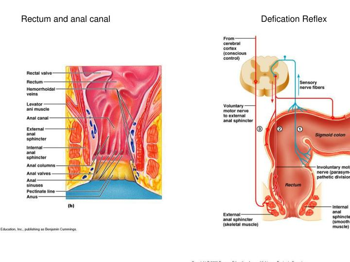 Rectum and anal canal                                                              Defication Reflex
