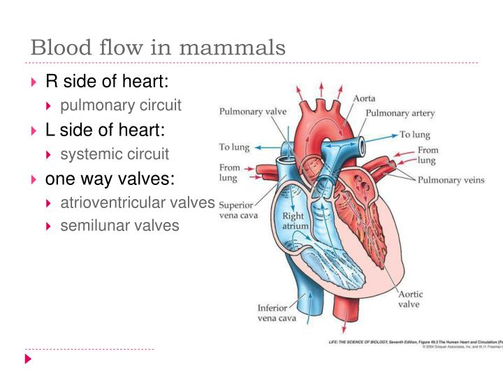 Blood flow in mammals