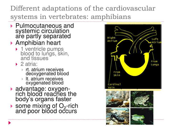 Different adaptations of the cardiovascular systems in vertebrates: amphibians