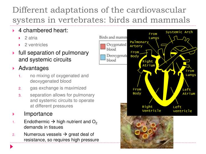 Different adaptations of the cardiovascular systems in vertebrates: birds and mammals