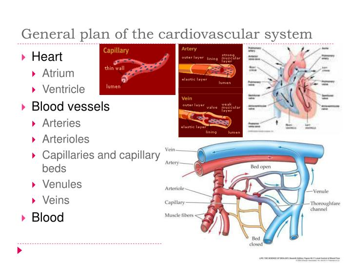 General plan of the cardiovascular system