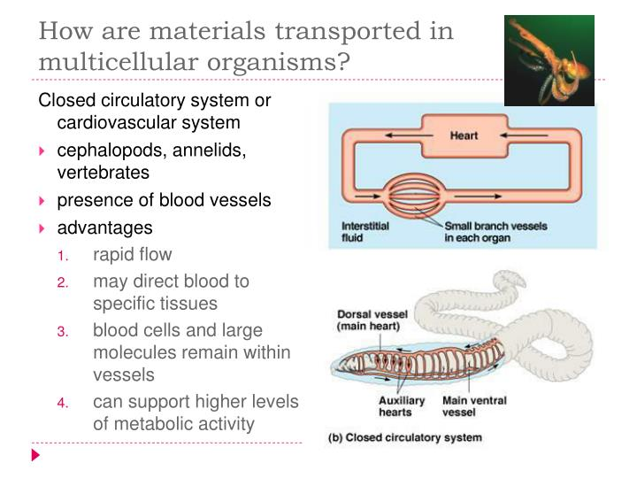 How are materials transported in multicellular organisms?