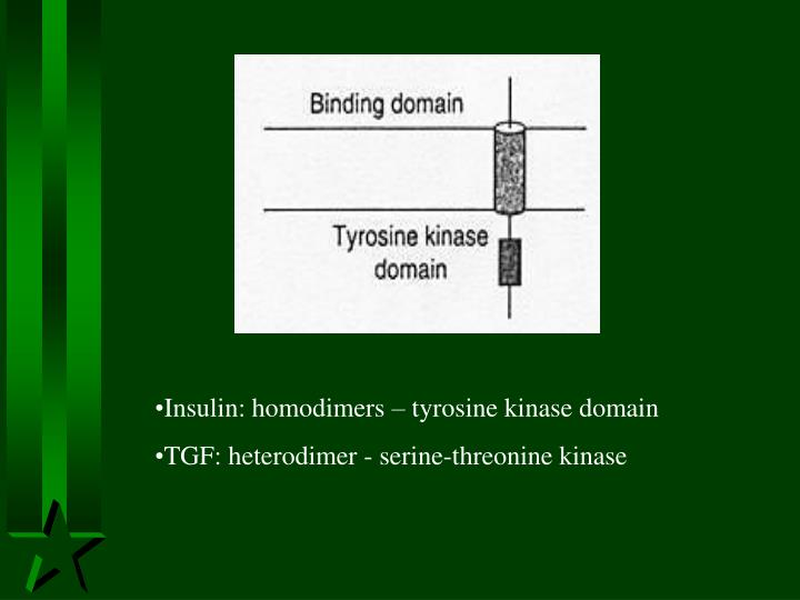 Insulin: homodimers – tyrosine kinase domain
