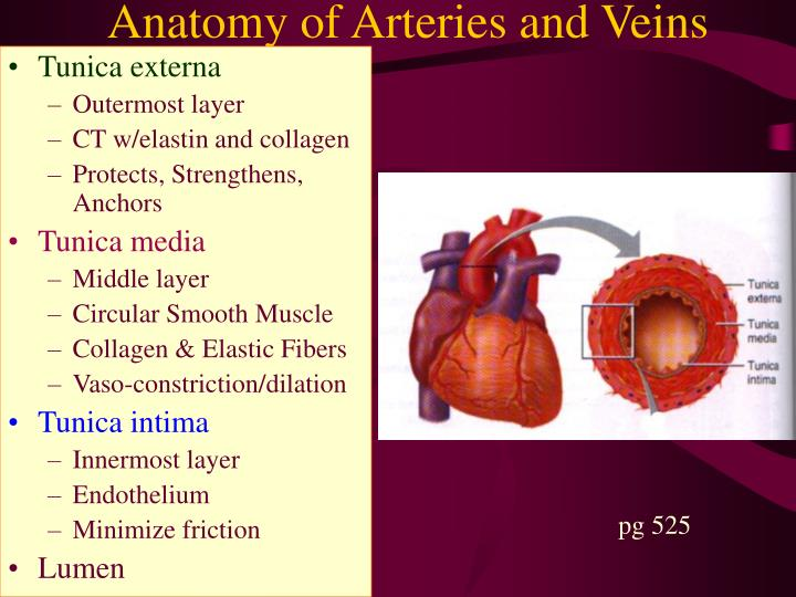 Anatomy of Arteries and Veins