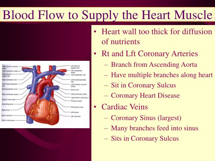 Blood Flow to Supply the Heart Muscle