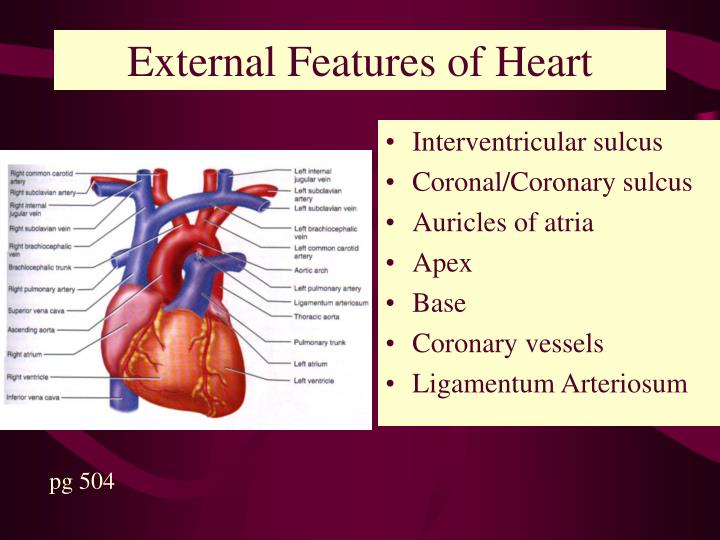External Features of Heart