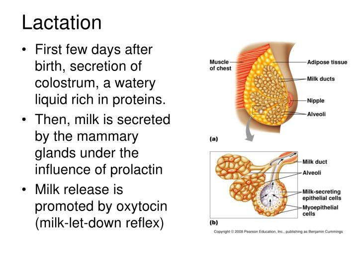 First few days after birth, secretion of colostrum, a watery liquid rich in proteins.