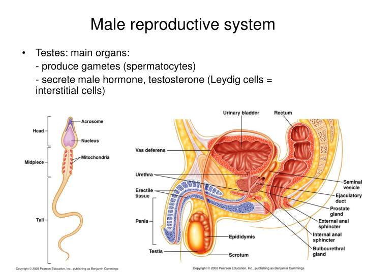 Testes: main organs: