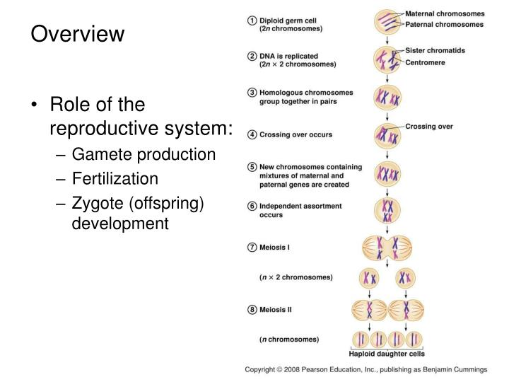 Role of the reproductive system: